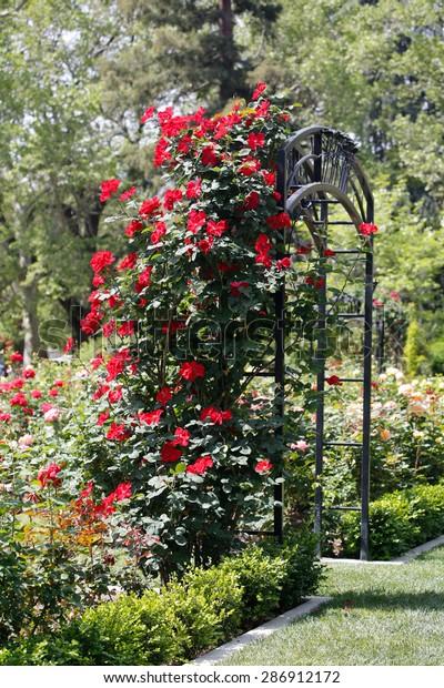 Red Roses Climb Rose Arbor Mckinley Stock Photo Edit Now 286912172