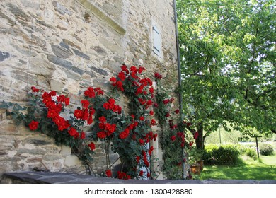 red roses climbing on stone wall of an old medieval house in France.