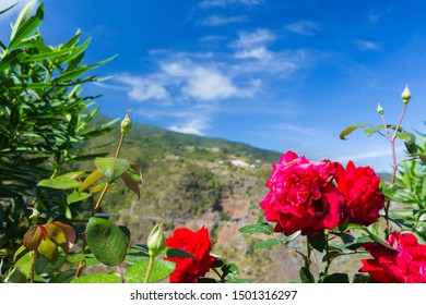 Red roses in front of a canyon in San Bartolome, La Palma, Spain.