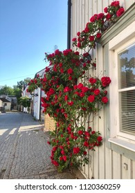 Red roses in full blossom on wooden house wall with view along the medieval summer street in the town Vadstena, Sweden.
