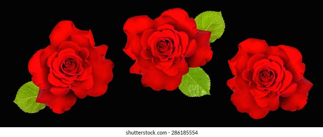 Red roses with green leaves on black background. Beautiful roses flower head