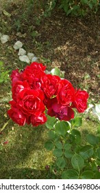 Red roses growing haphazardly in the backyard