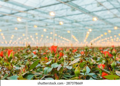 Red roses growing inside a greenhouse in The Netherlands