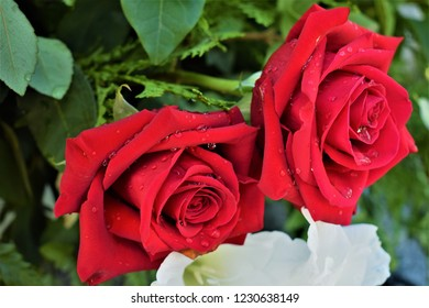 Red roses with morning dew - flowers