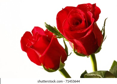 Red Roses in Morning Light and Dew
