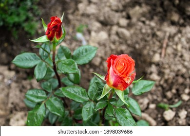 Red roses. The most beautiful flower.