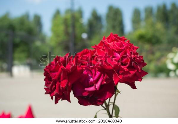 red-roses-niccolo-paganini-floribunda-60