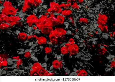Red roses on a dark dramatic background