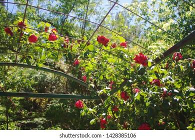 Rose Garden Images, Stock Photos & Vectors | Shutterstock