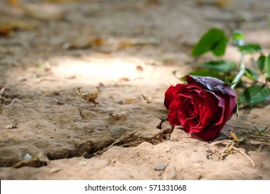 Red roses on the ground