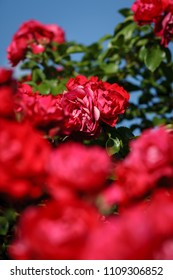 red roses on sunny sky background. Foreground defocus
