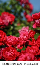 red roses on sunny sky background. Background defocus