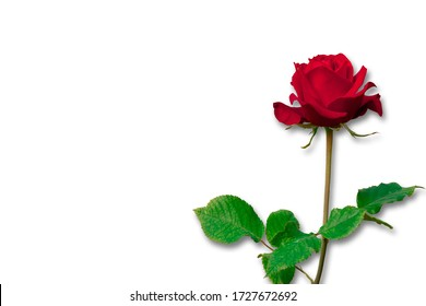 Red roses on a white background with clipping path