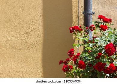 red roses on yellow wall of historical park in south germany
