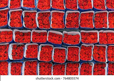 Red roses packed and ready for export in the region of Tabacundo and Cayambe, north of Quito, Ecuador, South America.