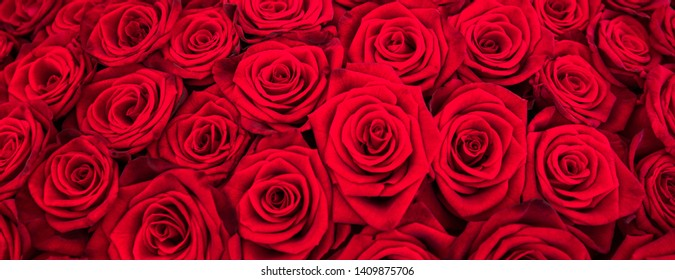 Red roses as panorama background texture or valentine's day gift