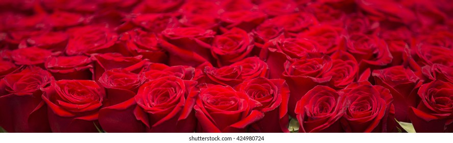 Red roses in pot.