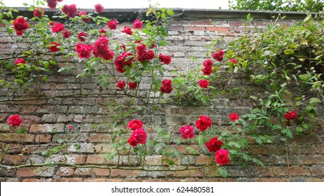 Red roses rambling up an old brick wall in an English country garden