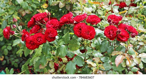 Red roses - in rose garden, New Zealand