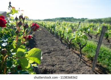 Red roses and wood post with vines in Bordeaux vineyard. New grape buds and young leafs in spring growing with roses in Saint Emilion vineyard, France
