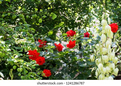Red roses, yucca flowers, green plum fruits in the spring garden