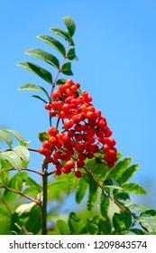 Red rowan berries against clear blue sky in autumn.