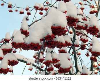 Red rowan berries on a branch in the snow on a cold morning