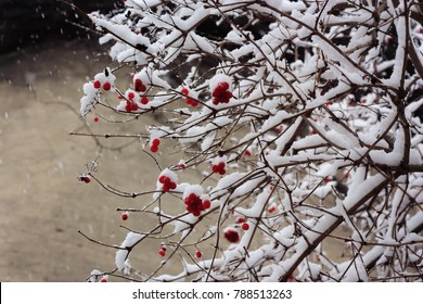 Red rowan berries on branches covered with hoarfrost and snow
