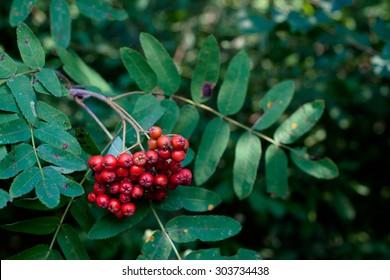 Red rowan berries on a green rowan-tree
