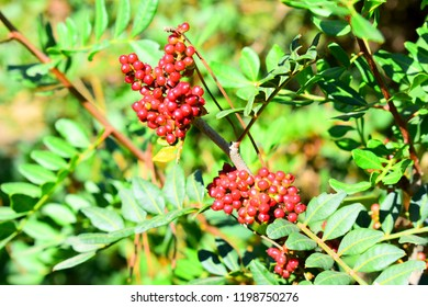 Red Rowan Berry