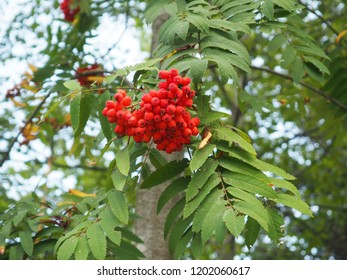 Red rowan in the summer