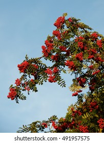 Red rowan,mountain ash in bright sky background, autumn background. Rowan tree, Close-up of bright rowan berries on a tree on a sunny day.