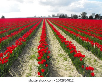 Red rows of tulips