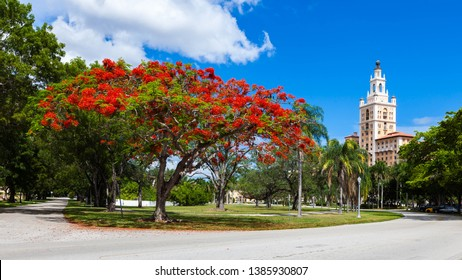 Red Royal Poinciana tree in full bloom with blues skies and white clouds during the summer on a street in coral gables, Miami, Florida