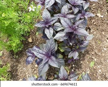 Red rubin basil (Ocimum basilicum) Lamiaceae family