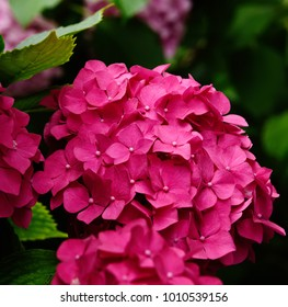 Red Ruby Hydrangea bush