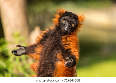 A red ruffed lemur in the Artis Zoo in Amsterdam the Netherlands.