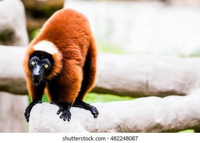 red ruffed lemur in chiangmai Thailand