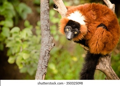 Red Ruffed Lemur - This is a shot of a Red Ruffed Lemur sitting on a branch at the zoo. Shot with a shallow depth of field.