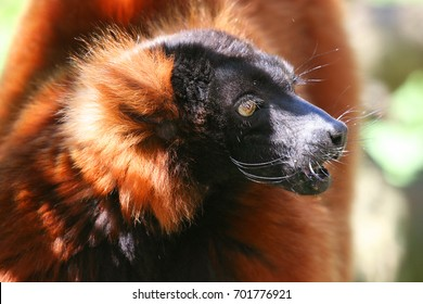 red ruffed lemur, Varecia rubra, looking left