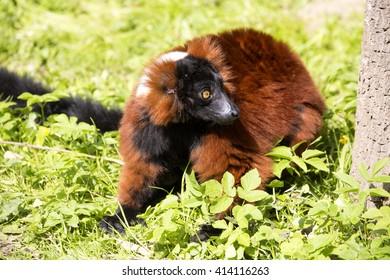 Red ruffed lemur, Varecia variegata rubra, sometimes even eating grass