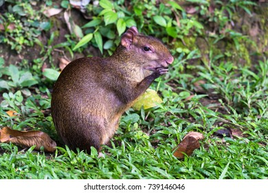 Red rumped Agouti, (Dasyprocta leporina), feeds on a seed, Amazon Rain Forest, Tambopata