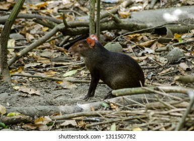 A red rumped agouti, latin name Dasyprocta leporina, sitting on the floor of the rainforest in Tobago.