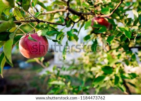 apple rush stock