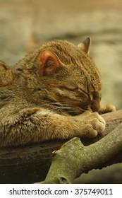 The red Rusty Spotted Cat - Prionailurus rubiginosus