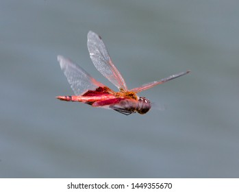 A red saddlebag dragonfly flying against a gray background.