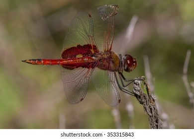 Red Saddlebags, Tramea onusta, male