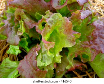 Red Sail Lettuce Close-Up