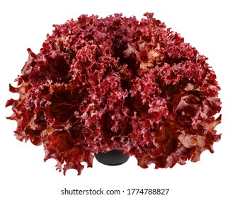 Red salad, lettuce, lollo rosso, isolated on white background, clipping path, full depth of field