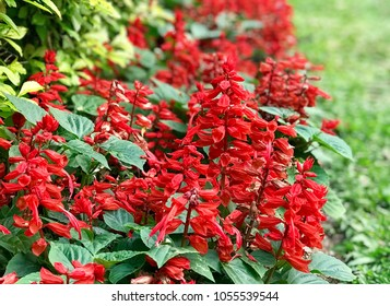 Red salvia Flowers Background